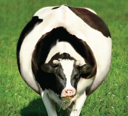 Тимпания рубца у коровы: причины, лечение, диагностика