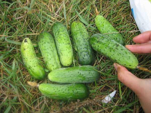 Огурцы корнишоны: сорта, выращивание в открытом грунте