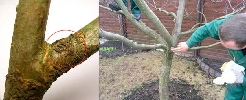 Когда опрыскивать яблони от вредителей весной, обработка народными средствами