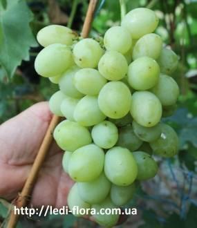 Описание сортов и характеристик винограда мускат и особенности выращивания