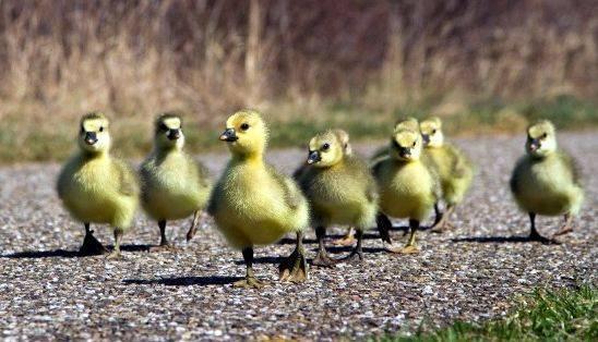 Вылупление цыплят: сроки, дальнейший уход и кормление, развитие по дням