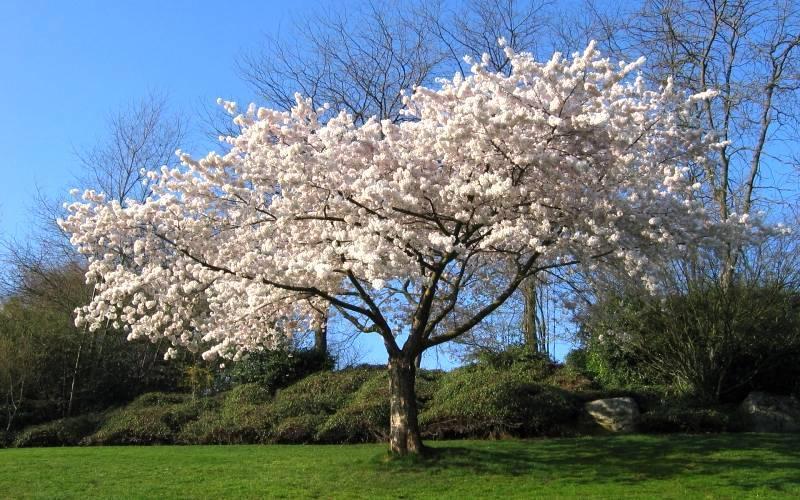 Плодовое дерево вишня: фото самых сладких сортов и расстояние при посадке