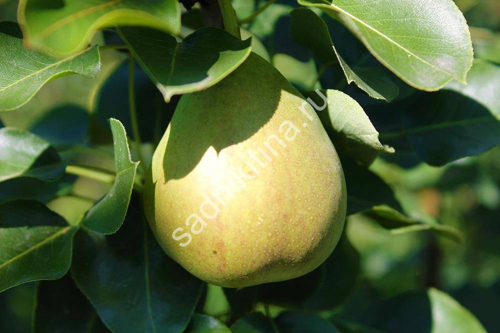 Особенности выращивания и ухода за грушей сорта уссурийская