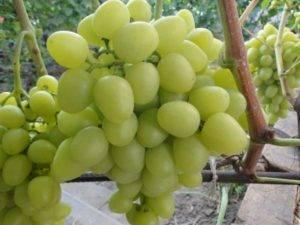 Виноград «супер экстра»