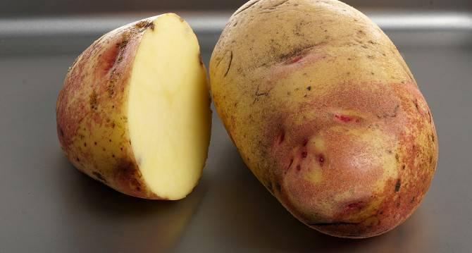 Описание голландского картофеля леди клер с отзывами садоводов