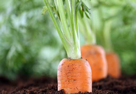 Какие сорта моркови подойдут для посадки на урале? чем отличается выращивание овоща в этом регионе?