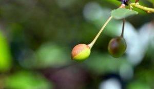 8 причин опадания завязи вишни