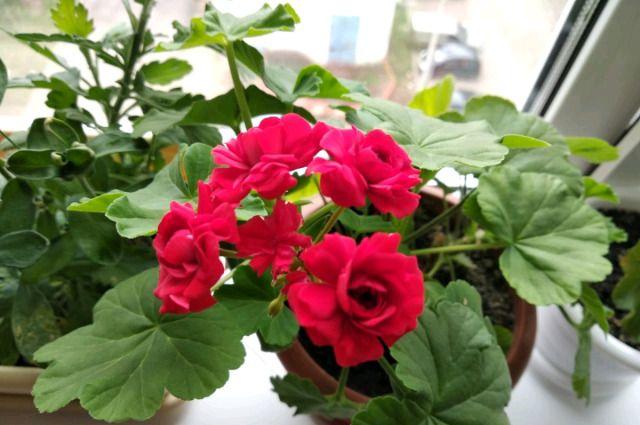 Пеларгония зональная — выращивание из семян