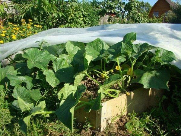 Выращиваем овощи под защитой