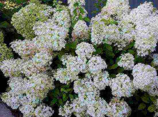 Гортензия в сибири: посадка и уход. выращивание гортензии в регионах с суровым климатом