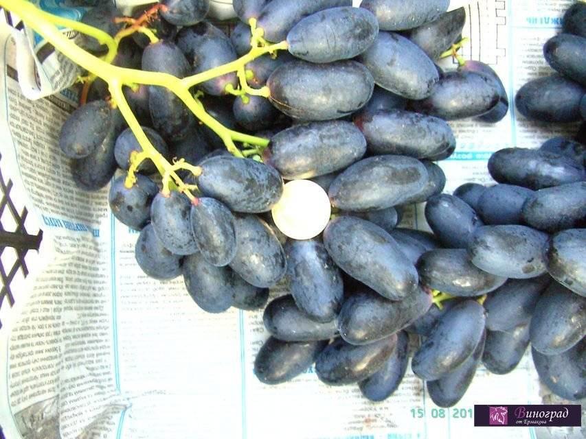 Виноград велика: описание и характеристики. особенности посадки и ухода