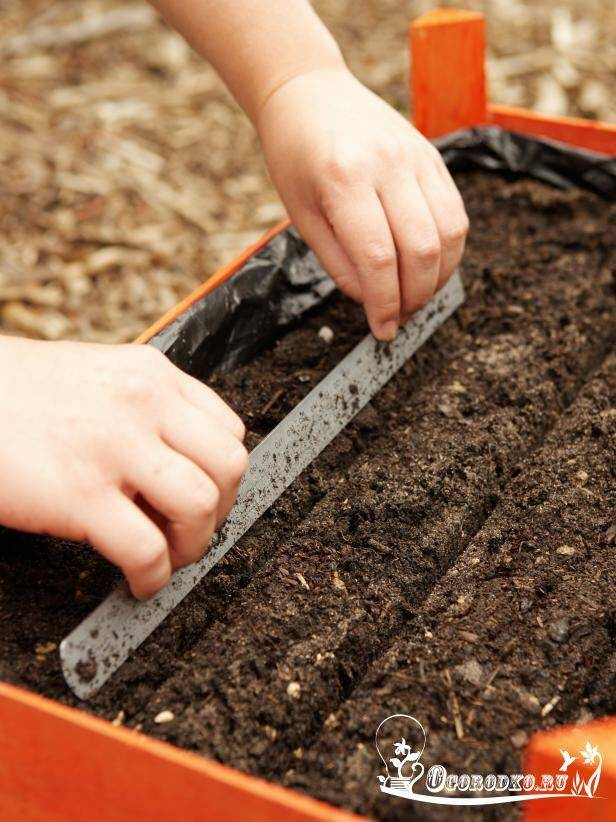 Как правильно сажать морковь в открытый грунт?