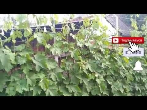 Как правильно и как часто поливать виноград летом