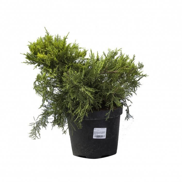 Juniperus × pfitzeriana (späth) p. a. schmidt описание таксона
