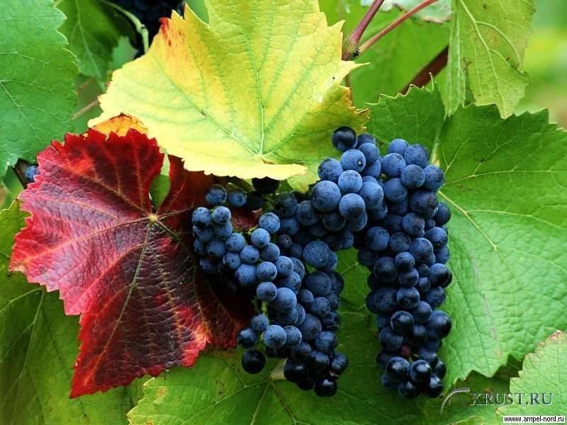 Домашнее виноделие – сорта винограда, оборудование, рецепты, этапы производства