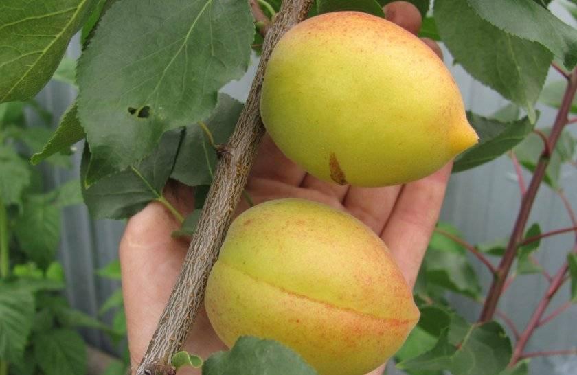 Абрикос академик: описание сорта и характеристики, посадка, выращивание и уход