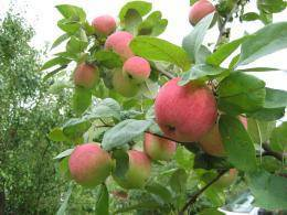Весенний уход за яблонями по правилам