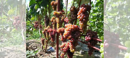 Рилайнс пинк сидлис виноград. re: рилайнс пинк сидлис