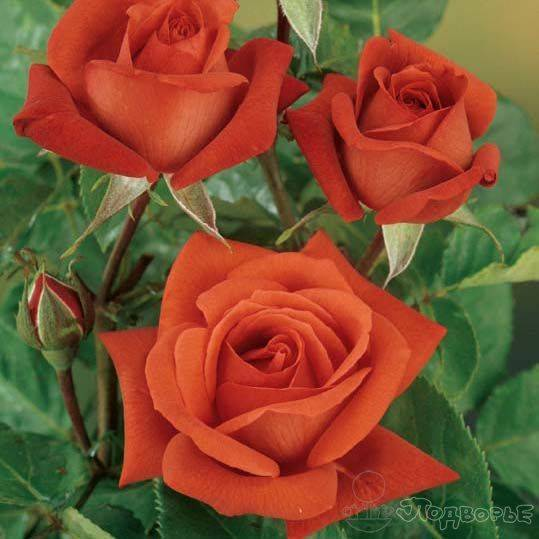 Роза терракота фото и описание и уход