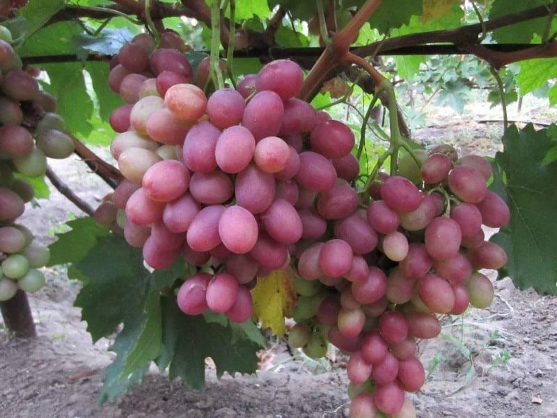 Шедевр молдавской селекции — виноград сенатор