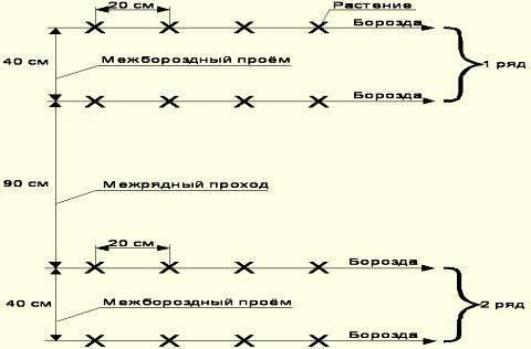 Посадка капусты в открытый грунт рассадой - схема посадки, подкормка