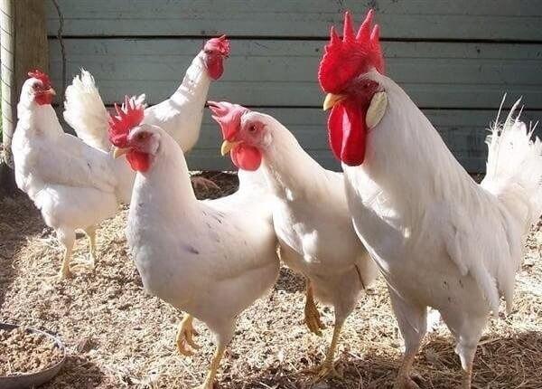 Лучшие яичные породы кур: описание с фото, список пород и их характеристики