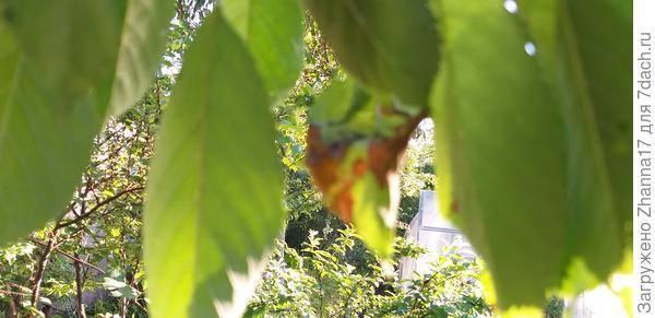 Почему у персика скручиваются листья?