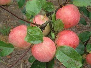 Секреты успешного выращивания яблони «пепин шафранный»