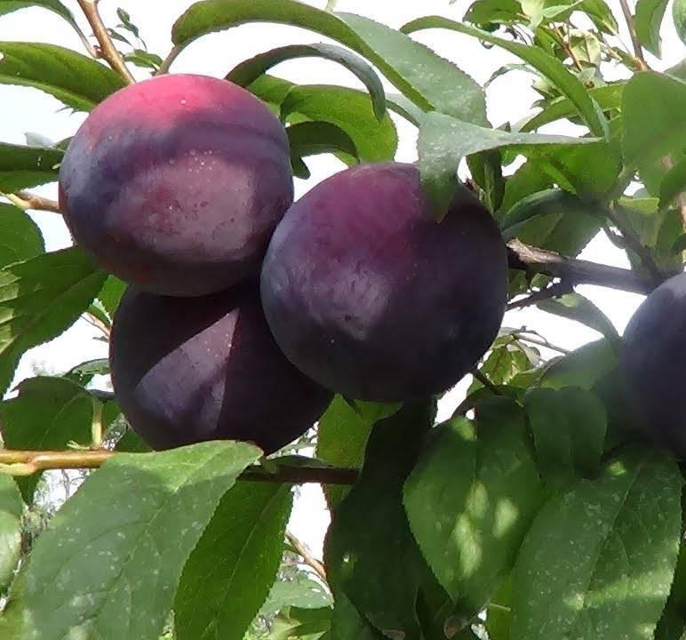 Слива - это ягода или фрукт? слива: особенности выращивания, виды и отзывы