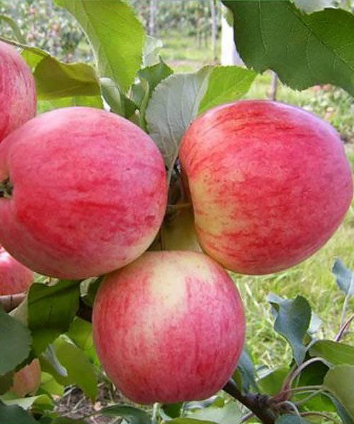 Описание сорта яблонь розовый налив (малиновка), преимущества и недостатки, выращивание
