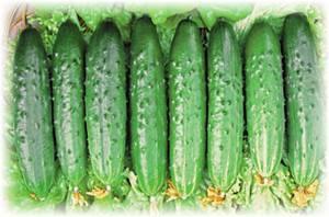 Гибрид огурцов «зозуленок f1»: фото, видео, описание, посадка, характеристика, урожайность, отзывы