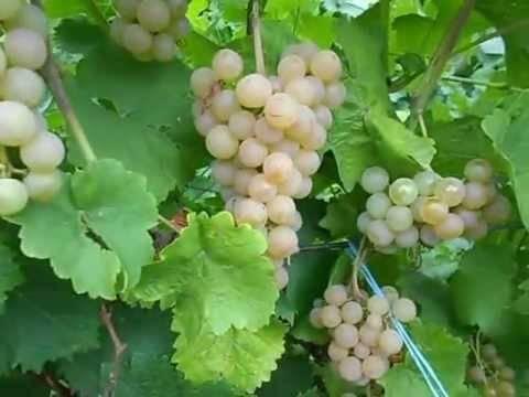 Описание винограда сорта платовский — характеристики, посадка