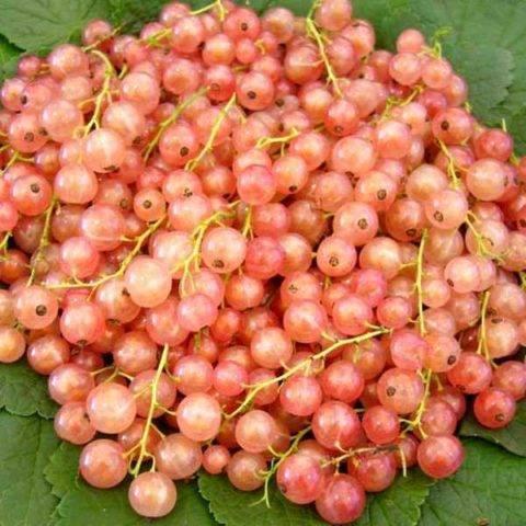 Смородина красная голландская розовая — ягоды грибы