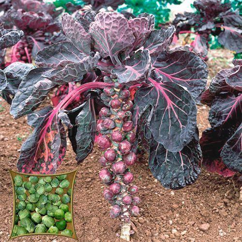 Выращивание брюссельской капусты из рассады, посадка и уход за ней | образцовая усадьба