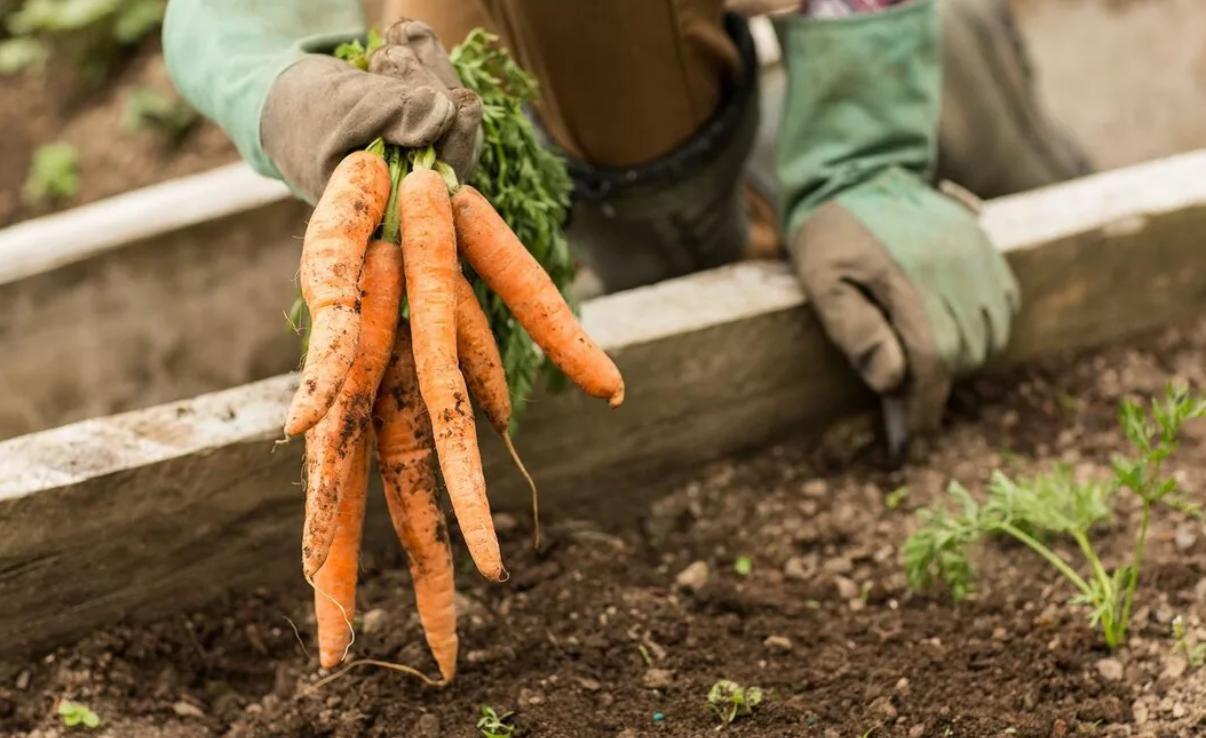 Посадка моркови весной – как правильно посеять семена?