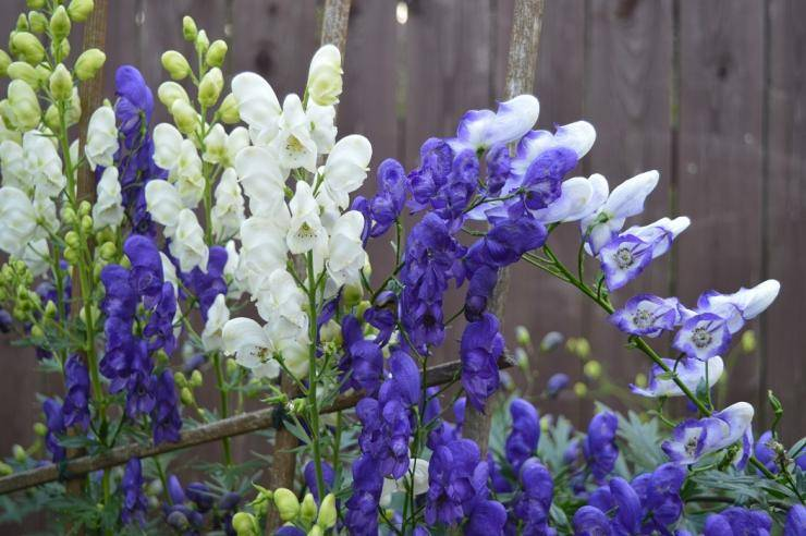 Аконит: сорта, посадка, уход и размножение в открытом грунте