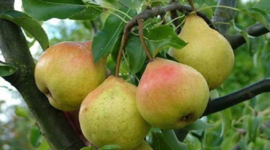 Яблоня имрус: описание сорта, характерные отличия и 10 советов по посадке и выращиванию