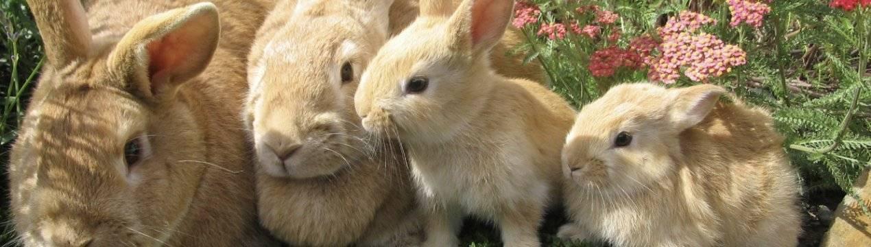 В каком возрасте нужно отсаживать крольчат от крольчихи?