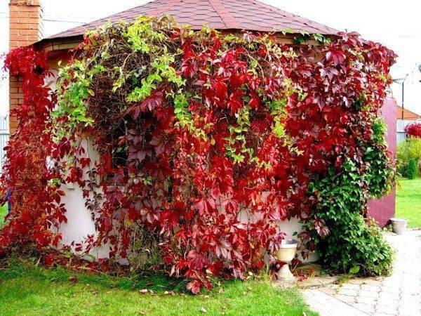 Идеи ландшафтного дизайна с использованием девичьего винограда