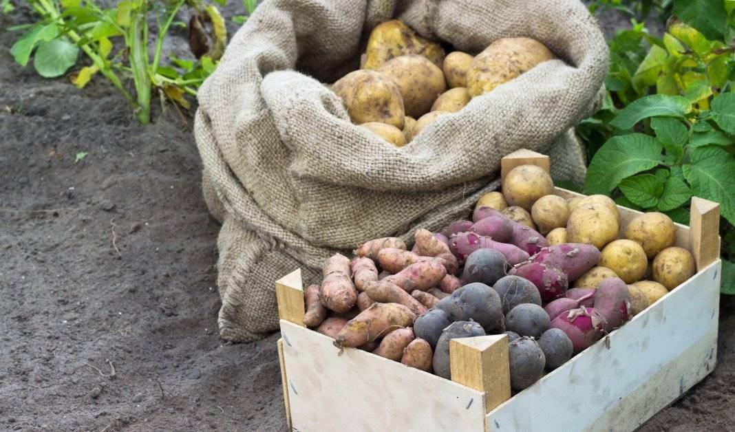 Список сортов картофеля с названием, описанием и фото