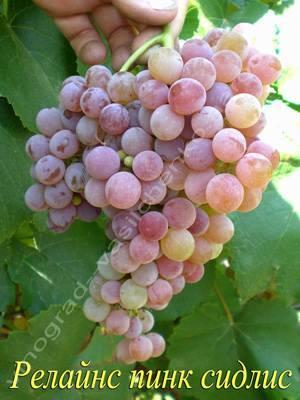 Виноград рилайнс пинк сидлис: описание сорта, отзывы, рекомендации по выращиванию, недостатки