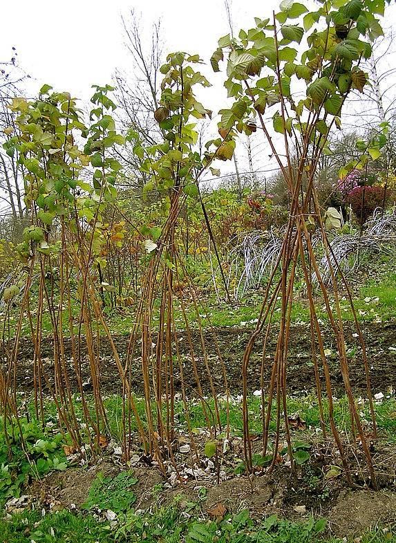 Подвязка малины на зиму. почему необходимо подвязывать малину