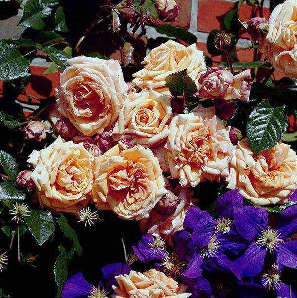 Роза «барок» (22 фото): описание плетистого сорта роз из питомника тантау, отзывы