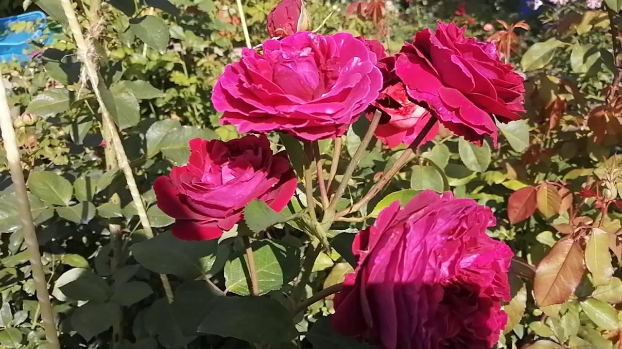 Роза «фальстаф»: описание, посадка и уход
