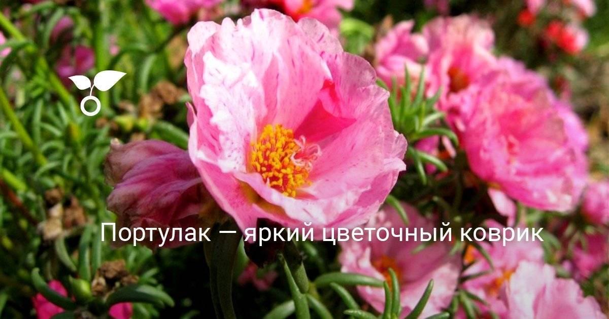 Махровый и крупноцветковый портулак и его выращивание из семян