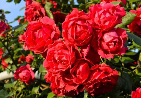 Сорта чайно-гибридных роз: уход и выращивание в саду