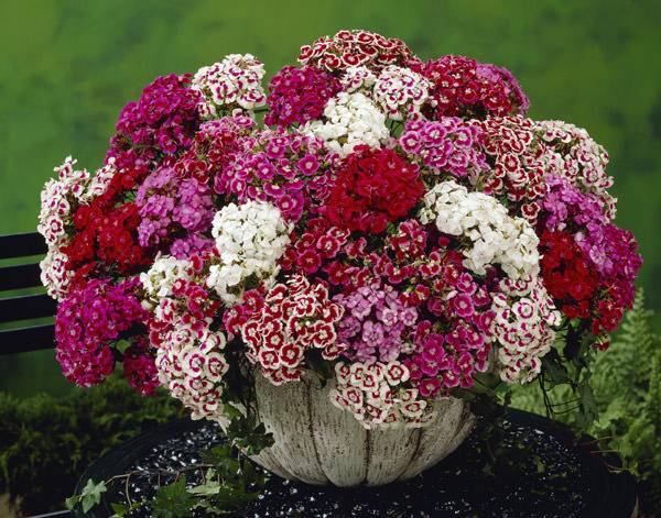 Какие цветы можно сажать семенами под зиму