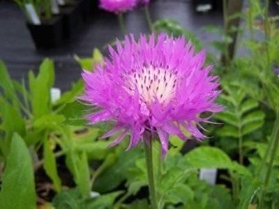 Василек: описание растения, уход, размножение и выращивание