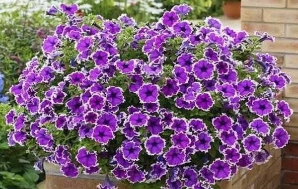 Средства для подкормки петунии для продления цветения: чем удобрять растение