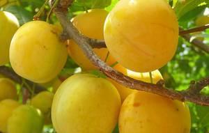 Самоплодные сорта сливы: описание, фото, особенности и сравнение сортов